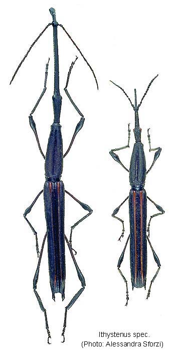 Papua Insects Foundation (Coleoptera/Brentidae)