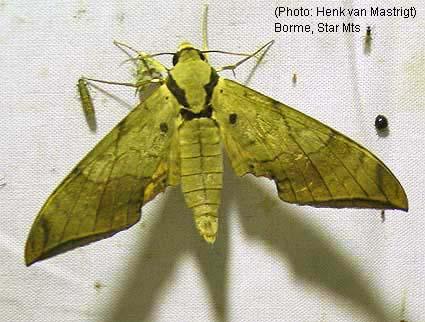 Sưu tập Bộ cánh vẩy 2 - Page 4 Ambulyx%20wildei%20(Borme)