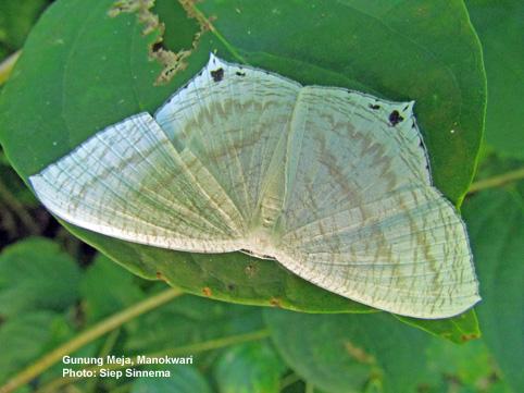 Sưu tập Bộ cánh vẩy 2 - Page 25 Micronia-aculeata-SGSinnema-2011-11-5-Meja-152-C